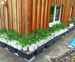Endlich die Tomaten abhärten