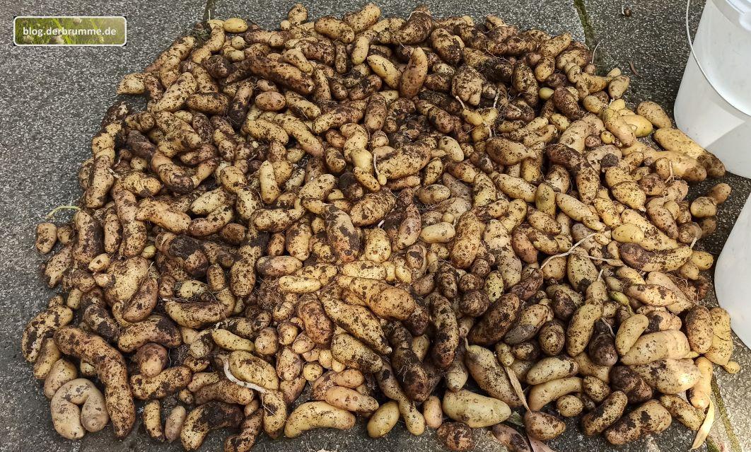 Erste Kartoffelernte 2021: La Ratte, Adretta, Muse