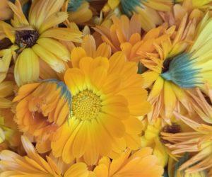 Ringelblumen trocknen als gesundes Hühnerfutter