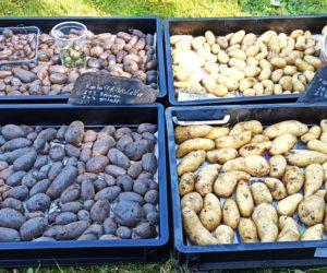 Zweite Kartoffelernte 2021: Linda, Violetta, Weinberger Schloßkipferl, Rote Emmalie